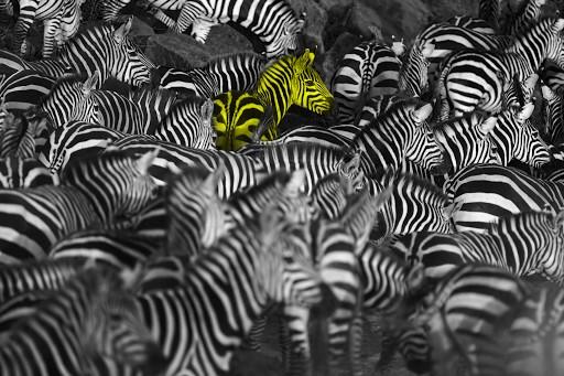 Zebra herd waiting on the bank of the Mara river, Kenya